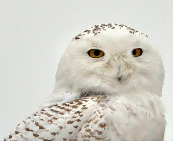 Snowy Owl on Ocracoke Island